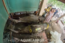 preserved specimens of giant mekong catfish, found dead in Tonle Sap