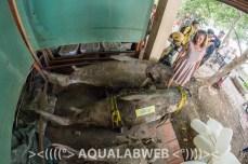 preserved specimens of giant mekong catfish, found dead in Tonle Sap