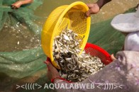 fingerlings of tilapia are sorted and weighted prior its sale to the farmer