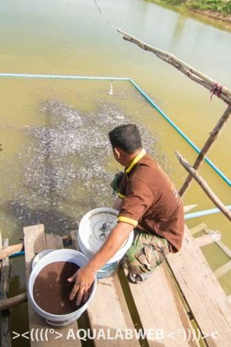 small fish feeding frenzy at fish farm near Phnom Penh, Cambodia