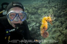Diver observing seahorse