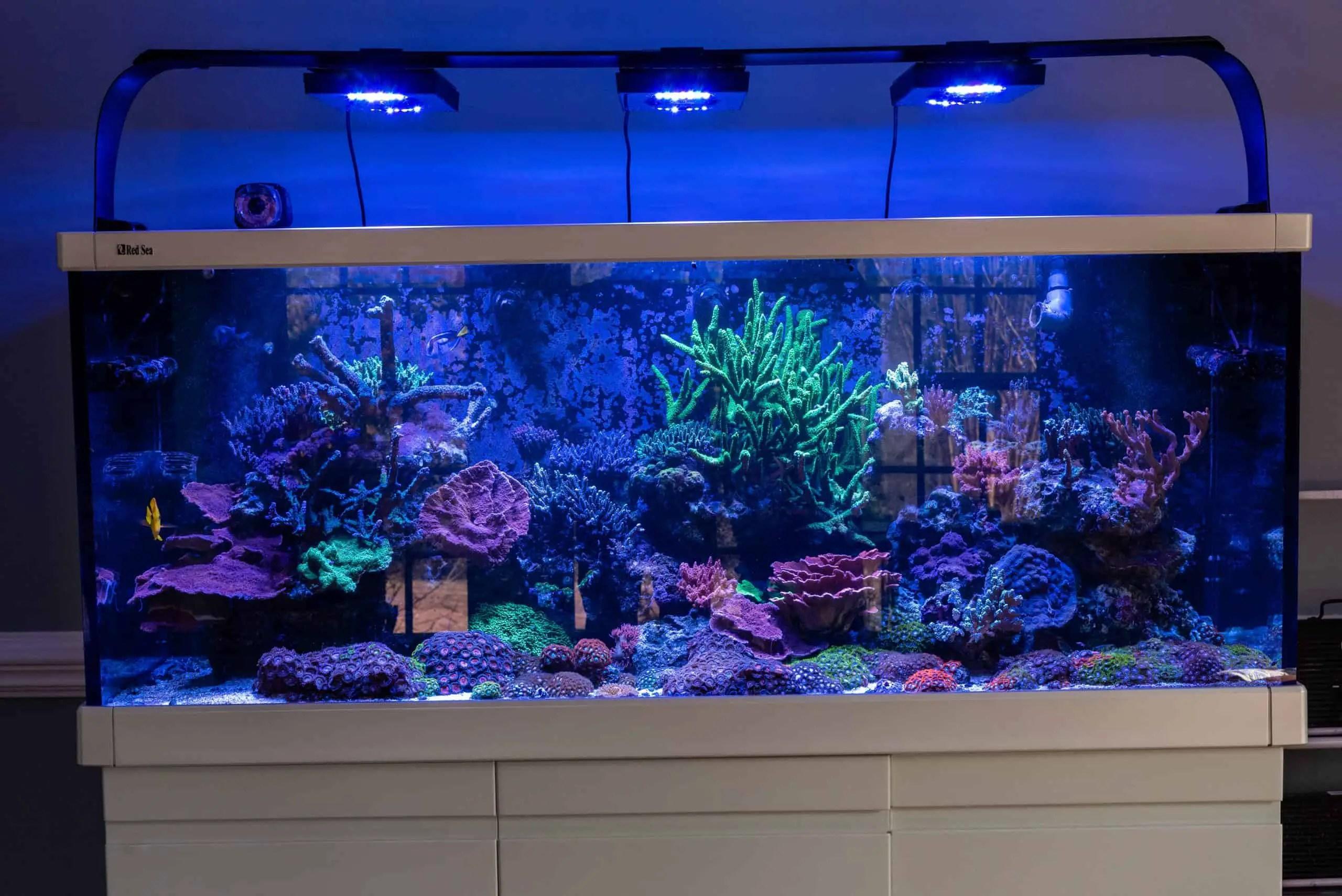 anacropora coral care guide aqua