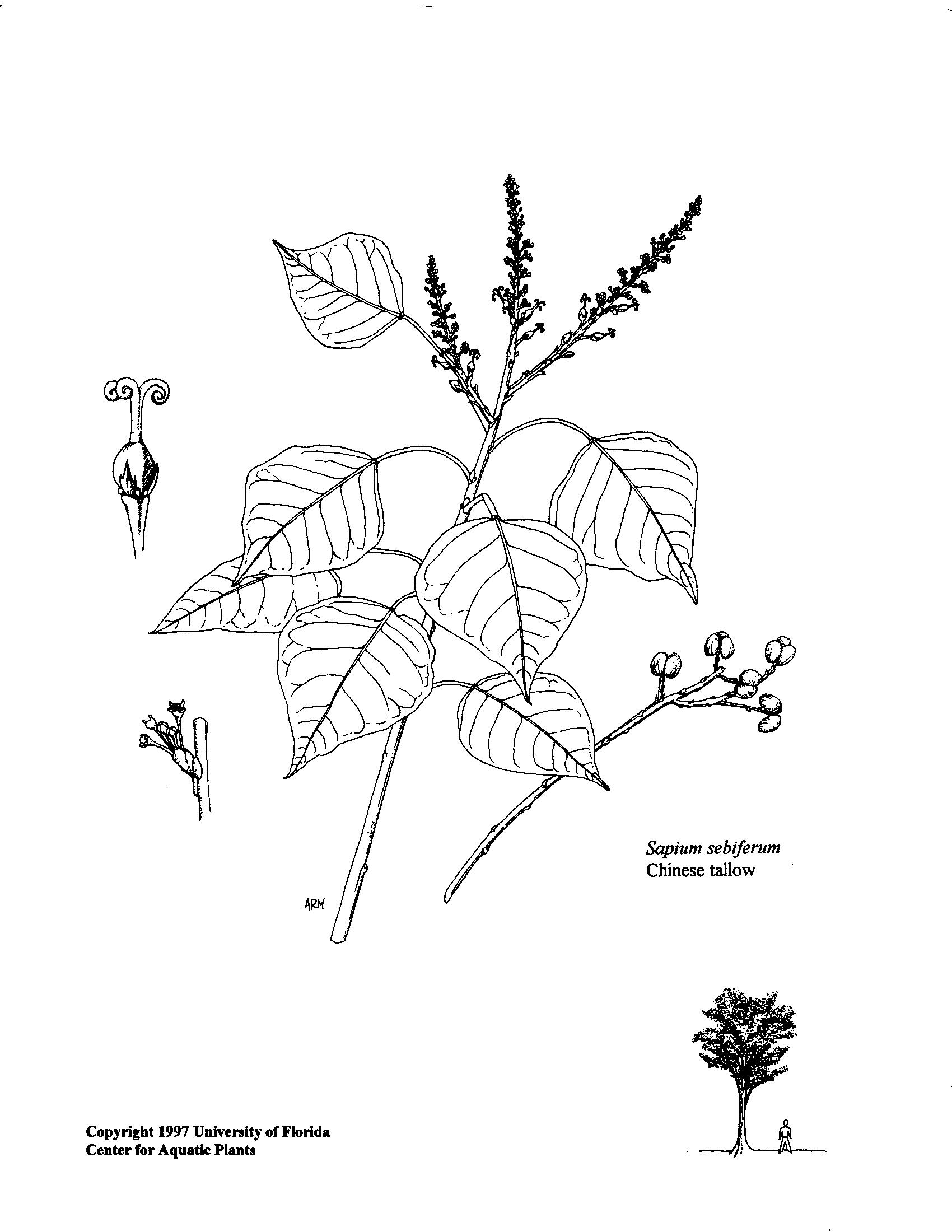 Chinesetallow Popcorn Tree Aquaplant
