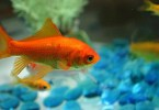 aquaponics goldfish