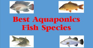 best aquaponics fish species