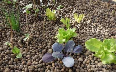 Quand planter en aquaponie, et comment ?