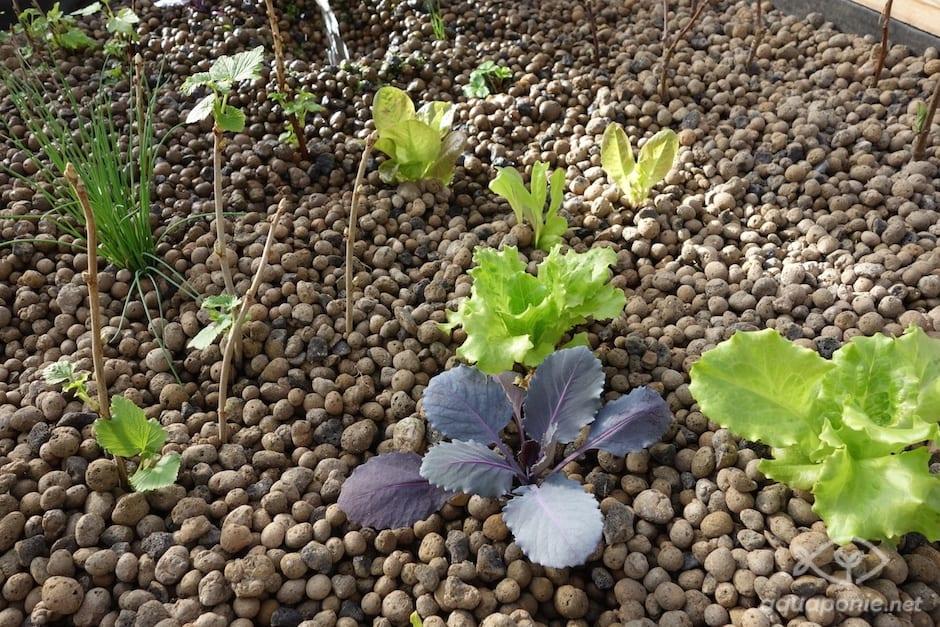planter-salade-chou
