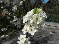 Pleissing, blüten, blühende bäume, kirsche, cherry, kirschbaum, pflaume, zwetschke, pflaumenbaum, zwetschkenbaum, trees, blossom