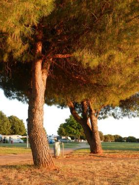 Kroatien, istrien, croatia, umag, pinien, pine trees, allee