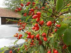 hagebutte, heckenrose, rote früchte, dog rose, rose hip, wild brier,
