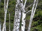 birken, birkenwald, see, langau, lake, pond, birch