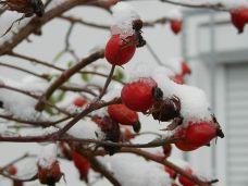 winter, schnee, snow, garten, pleissing, hagebutte