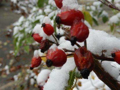 hagebutte, dog rose, wild rose, wilde rose, winter, zweige twiggs, schnee snow