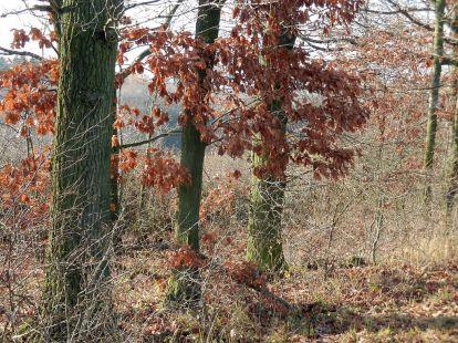 pleissing, bäume, trees, buche, beech, eiche, oak