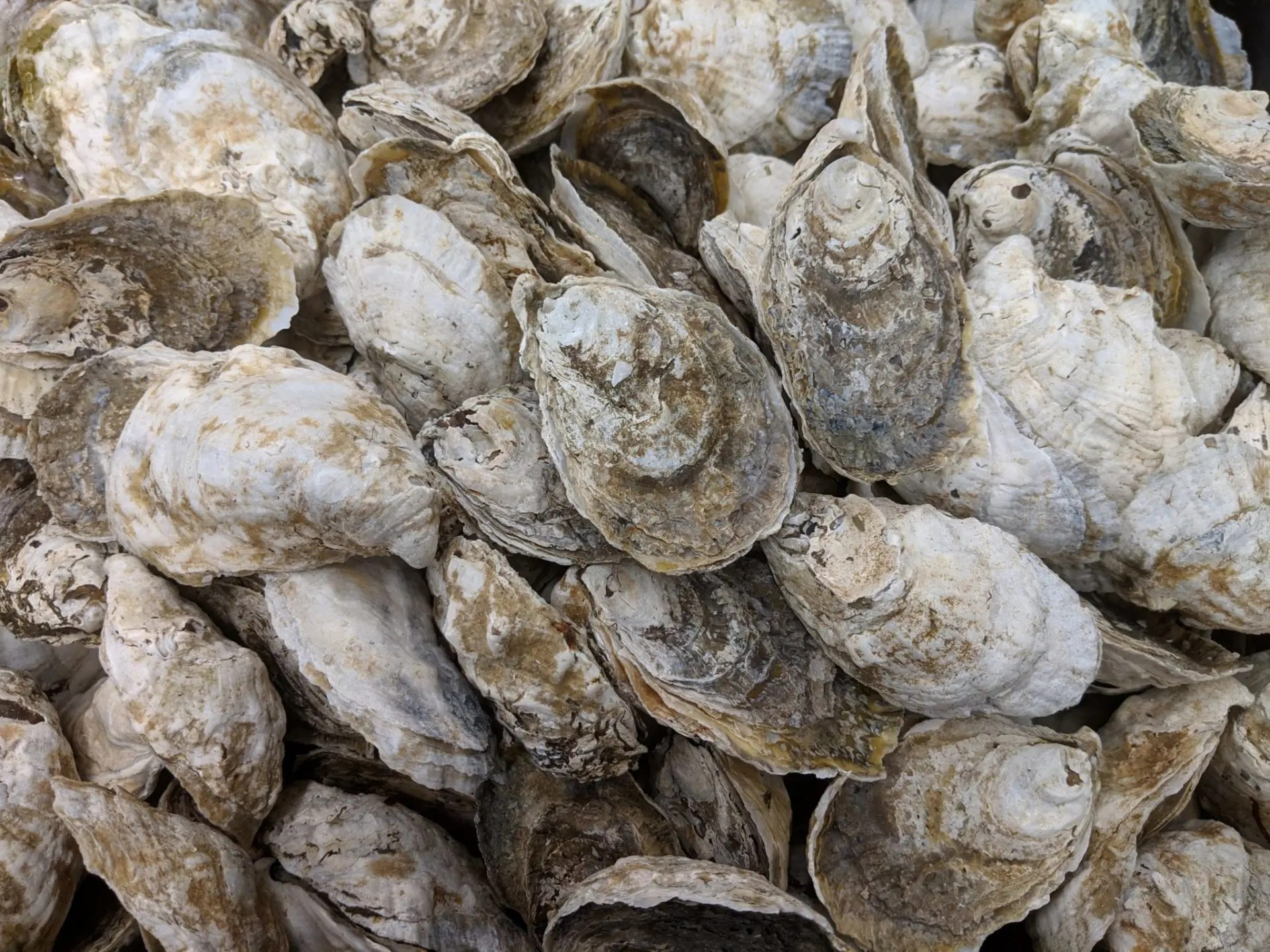 Local fresh oysters in the shell