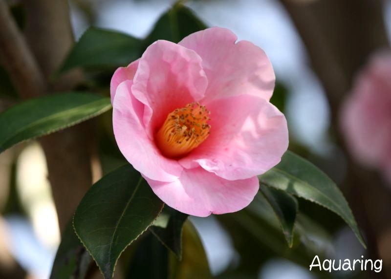 春山茶花(ハルサザンカ)