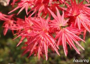 春紅葉(モミジ)