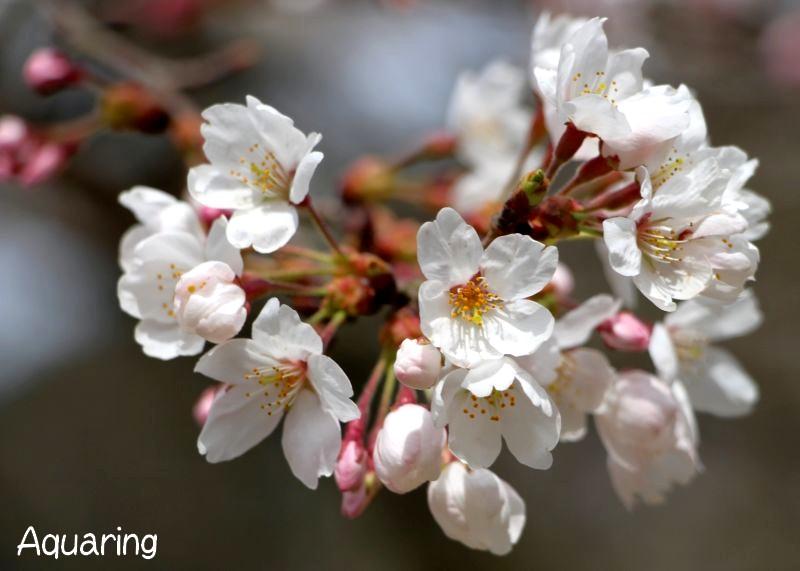 桜(サクラ)