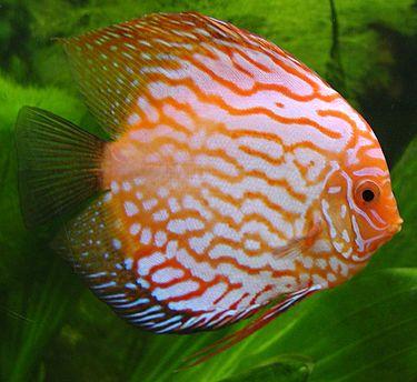 375px-Discus_fish