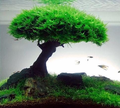 dž�帯魚の隠れ家、餌、鑑賞、テラリウムなど幅広く利用できるコケ!ウィローモスの紹介 Â�ッピーや熱帯魚飼育なら Á�じめてのアクアリウム