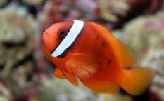 photo credit: tomato clownfish, Amphiprion frenatus via photopin (license)
