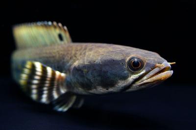 チャンナプルクラとはどんな魚?大きさは?