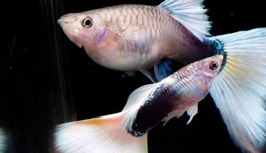 【初心者におすすめ】小型熱帯魚 卵胎生メダカ