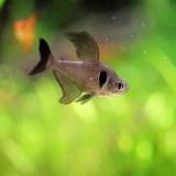 【初心者におすすめ】小型熱帯魚 カラシン科