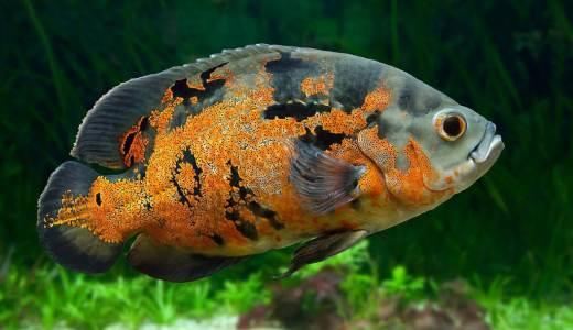 肉食魚を飼育してみよう!特徴・メリット・デメリットを解説