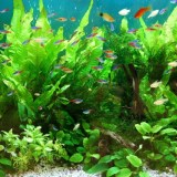 ヒーターを使わず飼育できる熱帯魚5選!無加温飼育は種類選びがポイント