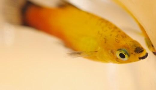 すぐに魚が死んでしまう原因とは?pH・水温ショックは水合わせで解決!