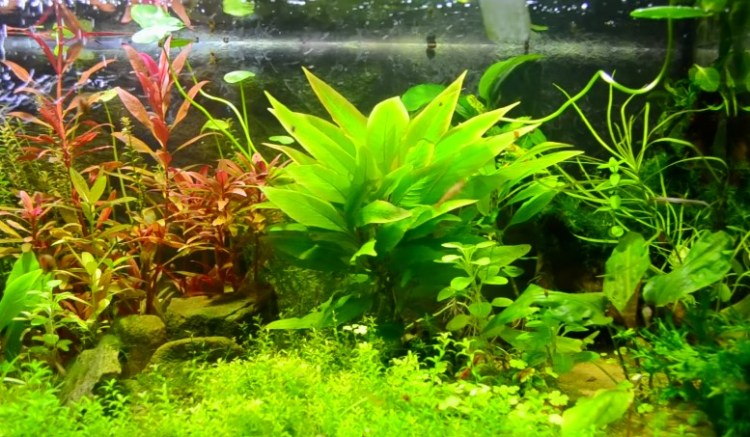 Image result for aquatic plants in aquarium