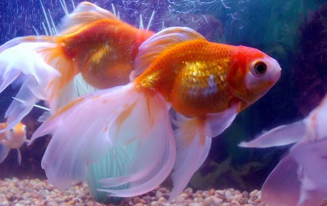 Руководство по уходу за золотой рыбкой