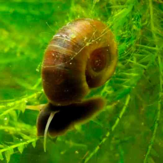 Ramshorn Snails - Detailed Guide: Care, Diet and Breeding ...