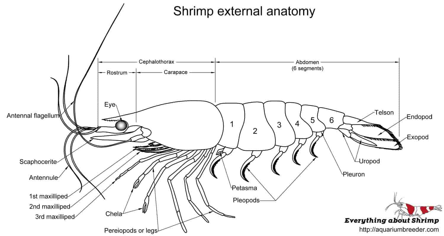 Dwarf Shrimp External Anatomy