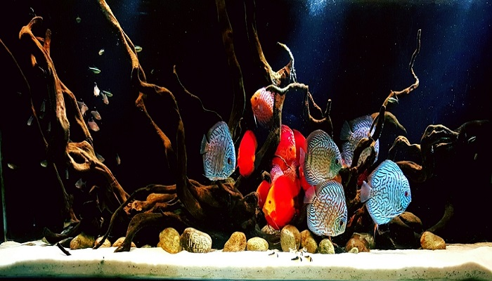 Keeping Discus Fish: How to care freshwater discus fish in your aquarium