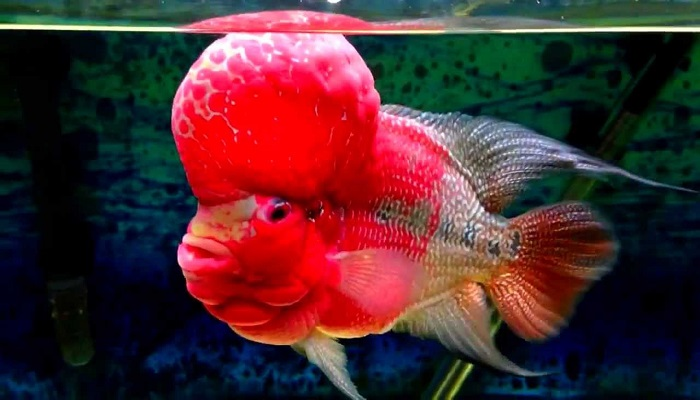 Flowerhorn fish care-Some tips to keep Flowerhorn fish