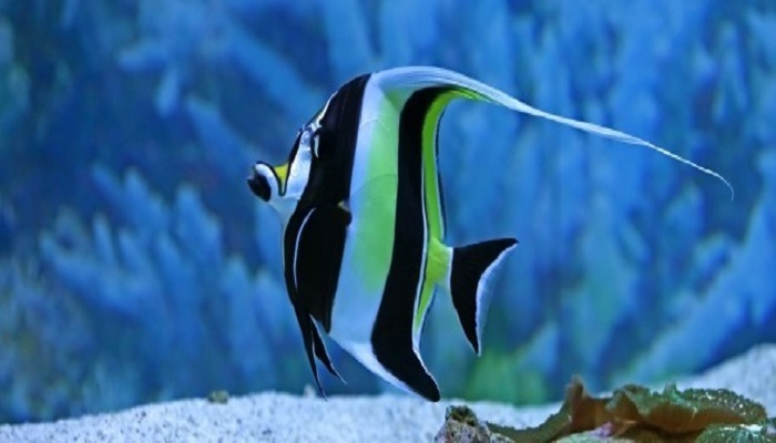 Moorish Idol Fish Care- Moorish Idol Marine Fish Facts