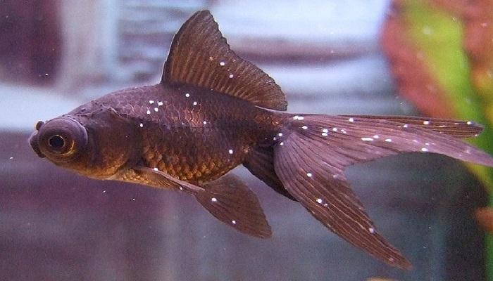 White spot disease-Symptoms of the white spot disease in aquarium fish