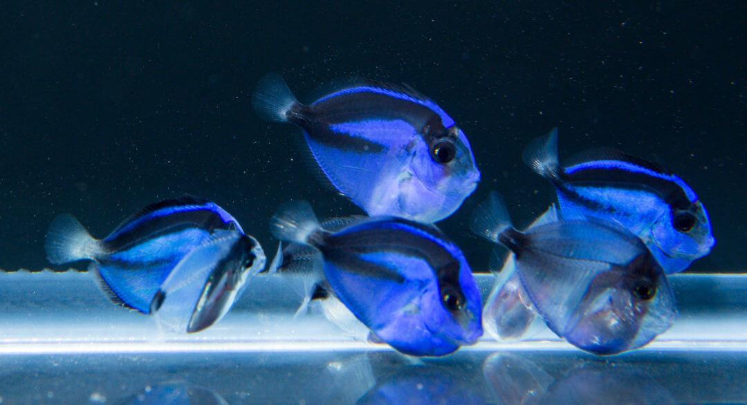 Captive-Bred Blue Tang