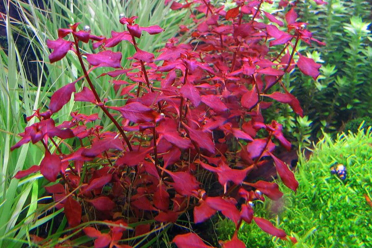makkelijke aquariumplanten rood