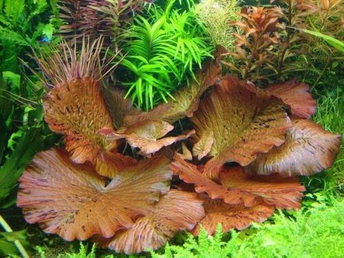 rode lotus aquarium