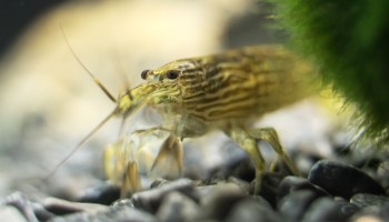 Crayfish - The Care, Feeding and Breeding of Freshwater Crayfish