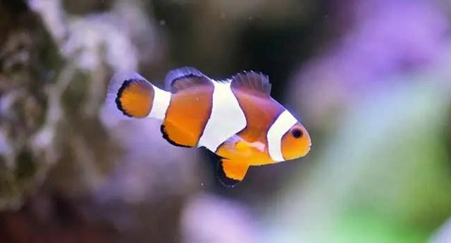 Saltwater Clownfish