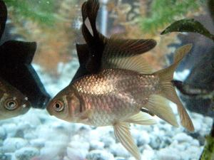 Goldfinch can be a good companion for your dragon fish