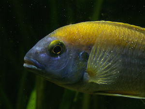 Cichlid affected by common Ick who may need white spot medication