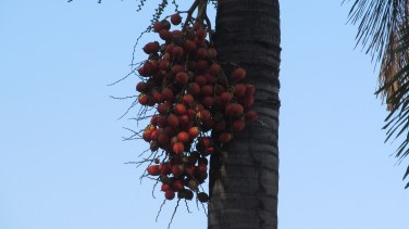 Red palm tree seeds grow beneath the leaves. Photo by: Leviana Coccia.