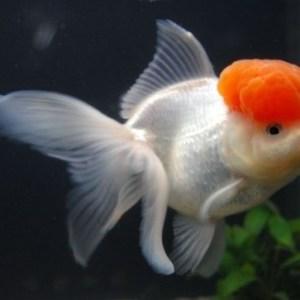 ORANDA RED CAP GOLD FISH