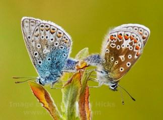 Common Blue butterflies print; acrylic print