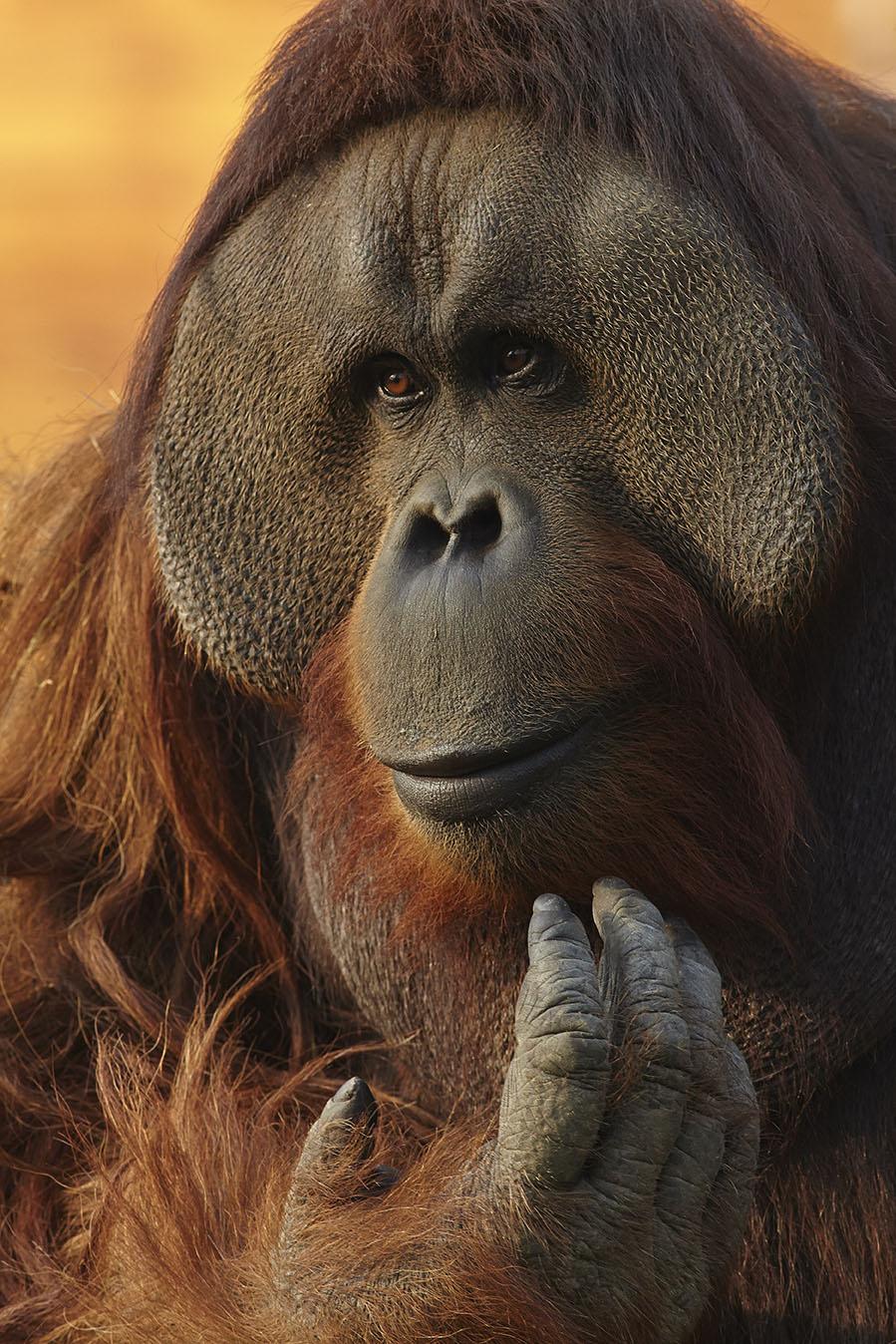 Orangutan Portrait print